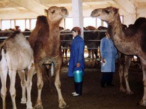 Kamele geben drei Mal am Tag zwei bis drei Liter Milch.