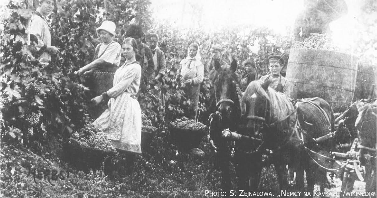 Weinlese in Helenendorf um 1900.